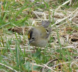 Goldcrest – Balephuil, Tiree 13 Apr (John Bowler).