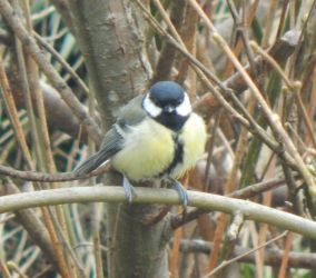 Great Tit – Balephuil, Tiree 11 Apr (John Bowler).