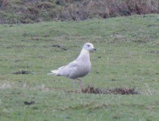 Iceland Gull – Ruaig, Tiree 19 Jan (John Bowler).