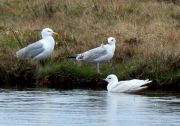 Iceland Gull – Heylipol, Tiree 16 May (John Bowler).