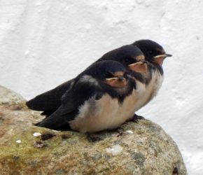 Newly fledged Swallows – Balephuil, Tiree 17 Jul (John Bowler).