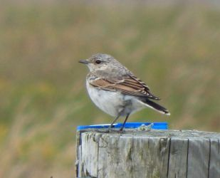 Juvenile Northern Wheatear – Balephuil, Tiree 11 Jul (John Bowler).