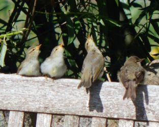 Juvenile Willow Warblers – Balephuil, Tiree 26 Jun (John Bowler).