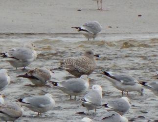 Kumlien's Gull - Crossapol Point, Tiree 15 Feb (John Bowler).