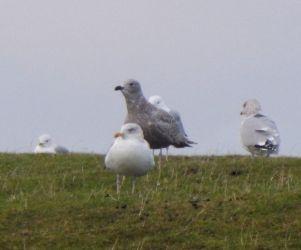 Kumlien's Gull - Crossapol Farm, Tiree 19 Jan (John Bowler).
