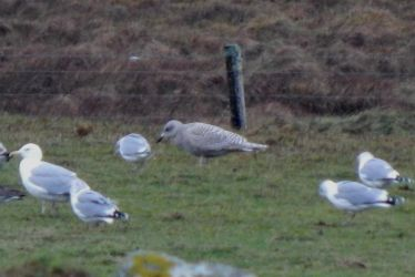 Kumlien's Gull - Balinoe, Tiree 18 Jan (John Bowler).