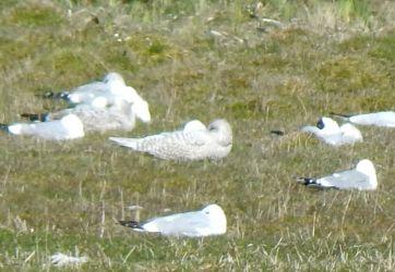 Kumlien's Gull (centre) - Loch an Eilein, Tiree 11 Apr (John Bowler).