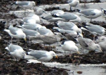 juvenile Kumlien's Gull (centre) - Sorobaidh Bay, Tiree 21 Jan (John Bowler).