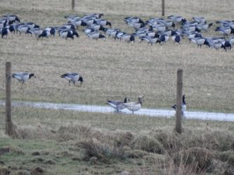 leucistic Barnacle Goose - Balephetrish, Tiree 04 Feb (John Bowler).