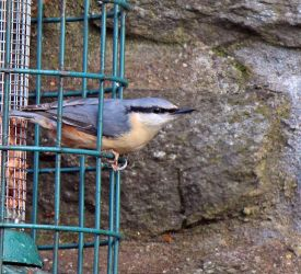 Nuthatch - Toward, Cowal 08 Apr (Mr. Ferguson)