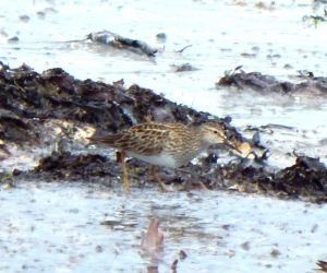 Pectoral Sandpiper - Sorobaidh Bay, Tiree 27 May (John Bowler).