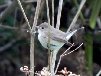 Red-breasted Flycatcher - Balephuil, Tiree 22 Oct (John Bowler).