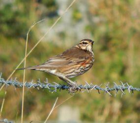 Redwing – Balephuil, Tiree 19 Oct (John Bowler).