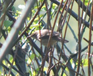 Reed Warbler – Balephuil, Tiree 11 May (John Bowler).