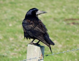 Rook – Balephuil, Tiree 09 May (John Bowler).