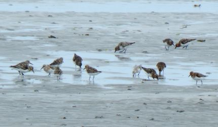 Sanderlings – Gott Bay, Tiree 08 Jul (John Bowler).
