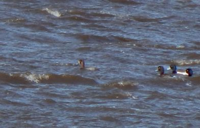 Greater Scaup - Loch an Eilein, Tiree 26 Apr (John Bowler).