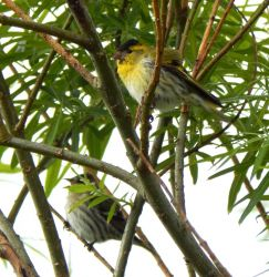 Siskins – Balephuil, Tiree 29 May (John Bowler).