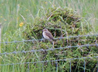 Spotted Flycatcher – Balephuil, Tiree 13 Jun (John Bowler).