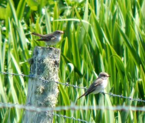 Spotted Flycatchers – Balephuil, Tiree 28 May (John Bowler).