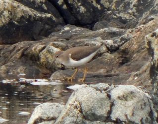 Spotted Sandpiper – Ard Mor, Tiree 17 Aug (John Bowler).