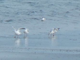 Sandwich Tern – Vaul, Tiree 17 Oct (John Bowler).