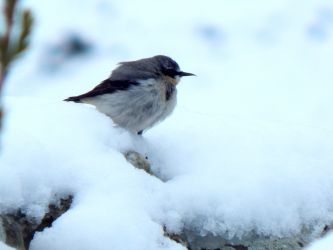Wheatear in snowy Tiree 28 Apr (John Bowler).