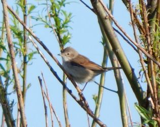 Common Whitethroat – Balephuil, Tiree 11 May (John Bowler).