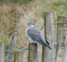 Wood Pigeon - Balephuil, Tiree 12 Apr (John Bowler).