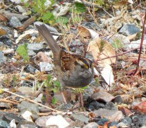 White-throated Sparrow – Vaul, Tiree 10 Jun (John Bowler).