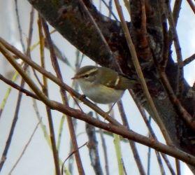 Yellow-browed Warbler – Balephuil, Tiree 17 Oct (John Bowler).
