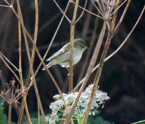Yellow-browed Warbler – Balephuil, Tiree 18 Oct (John Bowler).