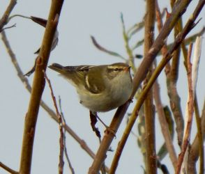 Yellow-browed Warbler - Balephuil, Tiree 23 Oct (John Bowler).