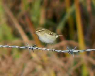 Yellow-browed Warbler – Balephuil, Tiree 19 Oct (John Bowler).