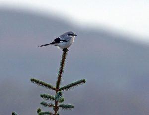 Great Grey Shrike - Moine Mhor 17 Dec (Jim Dickson).