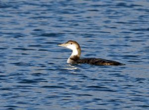 Great Northern Diver - Sound of Gigha 5 Jan (Jim Dickson).