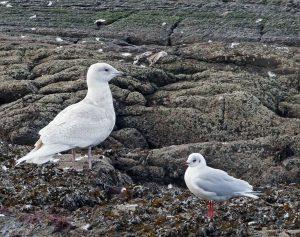 Iceland Gull - Ormsary, Mid-Argyll 14 Jan (Jim Dickson).