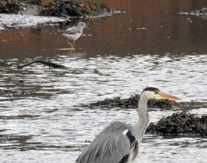 Greenshank - Add Estuary 03 Jan (Jim Dickson).