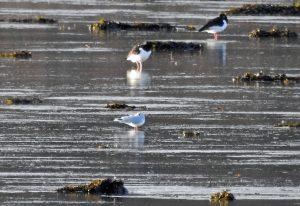 Little Gull - Loch Gilp, Mid-Argyll 13 Jan (Jim Dickson).