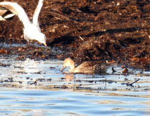 Pintail - Ormsary, Mid-Argyll 29 Jan (Jim Dickson).