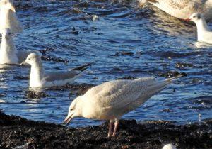Iceland Gull - Ormsary, Mid-Argyll 29 Jan (Jim Dickson).