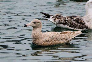 Glaucous Gull - Campbeltown Loch 20 Jan (Eddie Maguire).