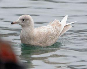 Iceland Gull- Campbeltown Loch 20 Jan (Eddie Maguire).