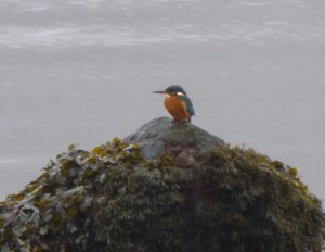 Kingfisher - Airds Bay, Taynuilt 17 Jan (Mike Harrison).