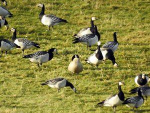 Cackling Goose - Islay 5 Feb (Jim Dickson)